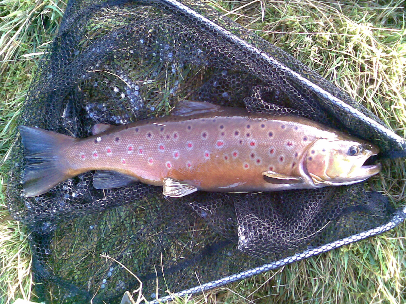 brown-trout-19-in-dean-clough-nov08
